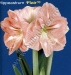 hippeastrum-flair.jpg