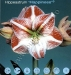 hippeastrum-happiness.jpg