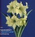 hippeastrum-lemon lime.jpg