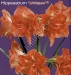 hippeastrum-unique.jpg