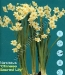narcissus chinese Sacred Lily.jpg
