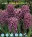 hyacinth Purple Sensation.jpg